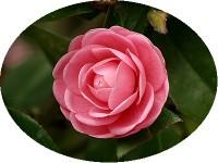 Pink_camellia